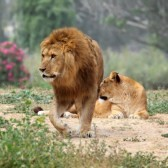 15683857-male-and-female-lion